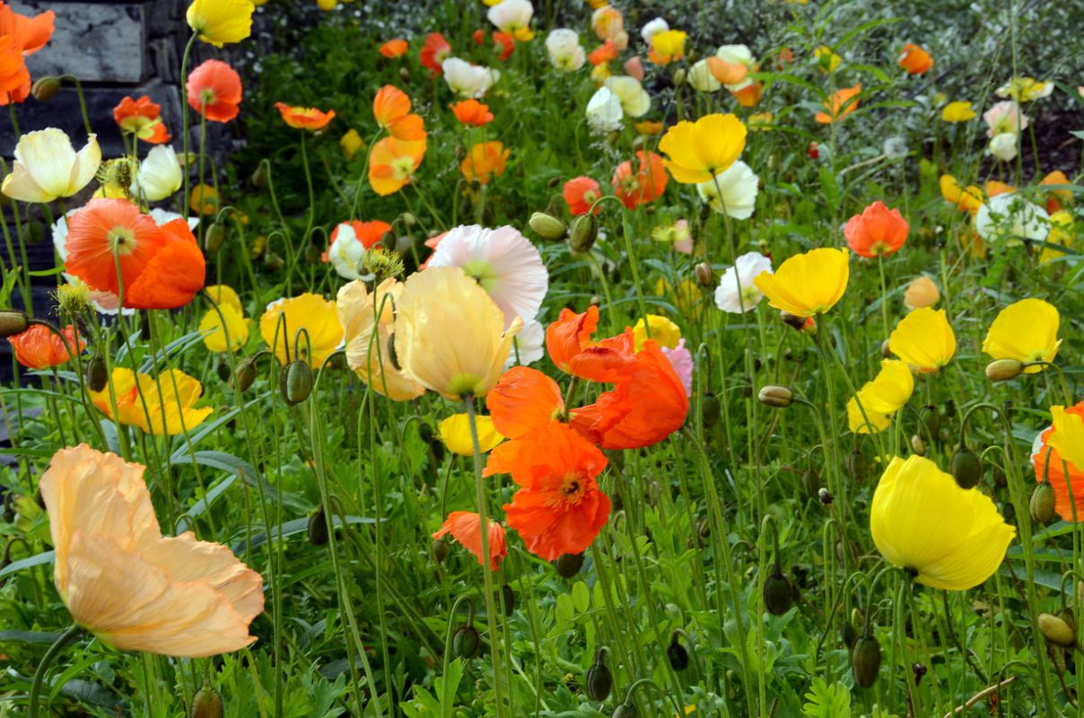44 Poppies In The Flower Garden At Chateau Lake Louise Lakeside