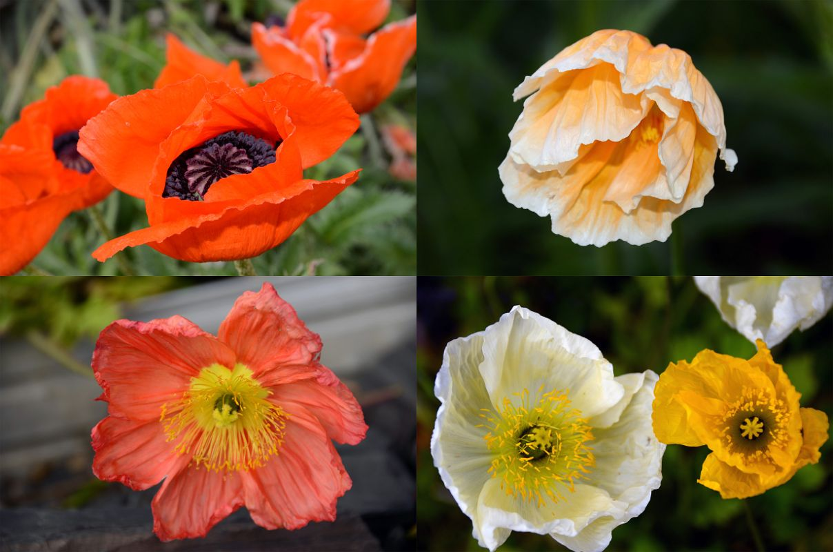 45 Colourful Poppies Close Up In The Flower Garden At Chateau Lake Louise Lakeside